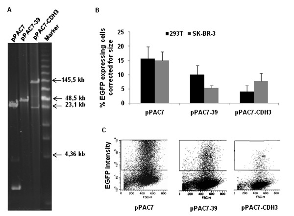 Transfection efficiencies measured in 293T and SK-BR-3 cells . A) DNA from each of the constructs pPAC7, pPAC7-39 and pPAC7-CDH3 was digested with Not I and separated on a BioRad CHEF-mapper. During construction of pPAC7-39 one of the Not I restriction sites got deleted and thus giving a linearised fragment when digested with Not I. Selected fragments in the Low Range PFG Marker are indicated. B) Diagram showing the fraction of viable, EGFP-expressing 293T and SK-BR-3 cells measured by flow cytometry the day after the transfection with the following constructs: pPAC7, pPAC7-39 and pPAC7-CDH3. One μg of DNA from each construct was used for transfection, and the figure shows the transfection frequencies normalized with respect to the molar concentrations of plasmid DNA used in each transfection. For the 293T cell line, each bar represents three independent experiments all performed in triplicate. For the SK-BR-3 cell line each bar represents two separate experiments, both performed in triplicates. Standard deviations are indicated. C) Representative flow diagrams showing a 10-fold decrease in EGFP intensities in the 293T cell line with increasing plasmid size. Constructs used are: pPAC7, pPAC7-39 and pPAC7-CDH3.