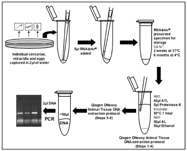Schematic of the RNA later ® preservation and gDNA extraction of individual schistosome larval stages and eggs . ATL and AL are lysis buffers supplied in the Qiagen DNeasy Blood and Tissue Kit. *These were the longest times and highest temperatures tested but it is expected that the samples can be preserved for much longer.