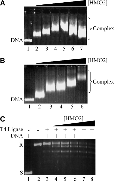 Interaction of HMO2 with plasmid DNA. ( A , B ) Agarose gel retardation of 100 ng plasmid DNA titrated with HMO2. (A) Reactions with supercoiled pGEM5. Lane 1, DNA only, lanes 2–7 with 1.0–6.0 μM HMO2. (B) Reactions with linearized pGEM5. Lane 1, DNA only, lanes 2–6 with 1.0–5.0 μM HMO2. ( C ) HMO2 supercoils relaxed DNA. Lane 1, 100 ng supercoiled pUC18 DNA. Lane 2, nicked pUC18. Lane 3, nicked pUC18 and T4 DNA ligase. Lanes 4–8, nicked DNA and T4 DNA ligase with 100, 500, 1000, 2000 and 3000 nM HMO2.