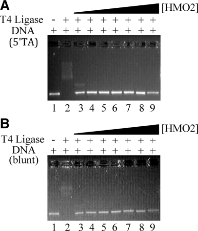 HMO2 prevents ligation of DNA by T4 DNA ligase. ( A ) DNA with overhangs (5′-TA extensions). ( B ) DNA with blunt ends. Lanes 1, 100 ng of DNA (∼4 nM, corresponding to ∼8 nM DNA ends). Lane 2, DNA and T4 DNA ligase. Lanes 3–8, DNA, T4 DNA ligase with 100, 500, 1000, 2000, 3000 and 4000 nM HMO2. Lane 9, DNA, T4 DNA ligase, 4000 nM HMO2 and exonuclease III.