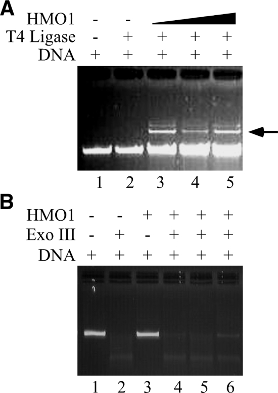 HMO1 promotes DNA end-joining, but does not protect DNA from exonucleolytic cleavage. ( A ) HMO1 can promote end-joining of pGEM5 DNA with 2-nt 5′ overhang in presence of T4 DNA ligase. Lane 1, 100 ng DNA only. Lane 2, DNA and T4 DNA ligase. Lanes 3–5, DNA, T4 DNA ligase, and 500, 1000 and 2000 nM HMO1, respectively. ( B ) HMO1 is unable to protect DNA with 2-nt 5′ overhangs from exonuclease III. Lane 1, 100 ng DNA only. Lane 2, DNA and exonuclease III. Lane 3, DNA and 500 nM HMO1. Lanes 4–6, DNA, exonuclease III, and 500, 1000 and 2000 nM HMO1, respectively.
