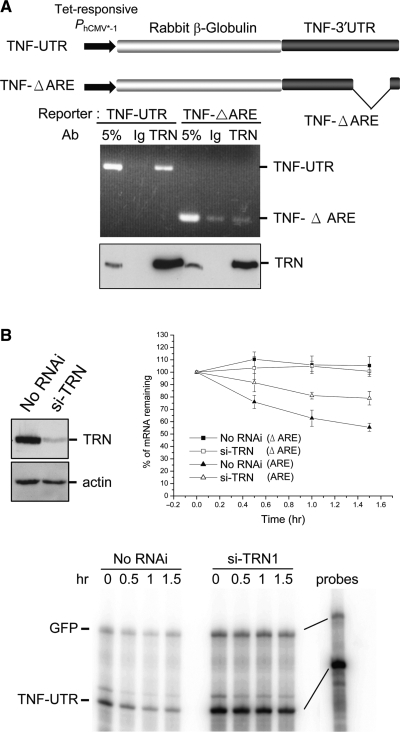 Association of TTP with ARE-containing mRNAs. ( A ) The TNFα ARE-containing <t>β-globin</t> reporter (TNF-UTR) or the control reporter (TNF-ΔARE), as shown in the top schematics, was transfected into HeLa cells. The cell lysates were subjected to immunoprecipitation using anti-TRN. Precipitated RNAs were analyzed by RT–PCR using primers specific to the reporters. ( B ) HeLa cells were mock-transfected or transiently transfected with siRNA against TRN. Depletion of TRN was examined by immunoblotting using anti-TRN. For mRNA stability analysis, the reporters used were the same as those in A, and meanwhile a GFP expression vector was cotransfected as a reference. Cells were harvested at the indicated time points after doxycycline addition. RNase protection was performed using 32 P-labeled probes specific to the reporter or the GFP mRNA. The graph shows the level of reporter mRNA remaining at each time point relative to that of the GFP reference. Arbitrary mRNA intensity was determined by phosphoimaging. Average and standard deviation were obtained from three independent experiments. The representative gel shows an experiment using the TNF-UTR reporter.