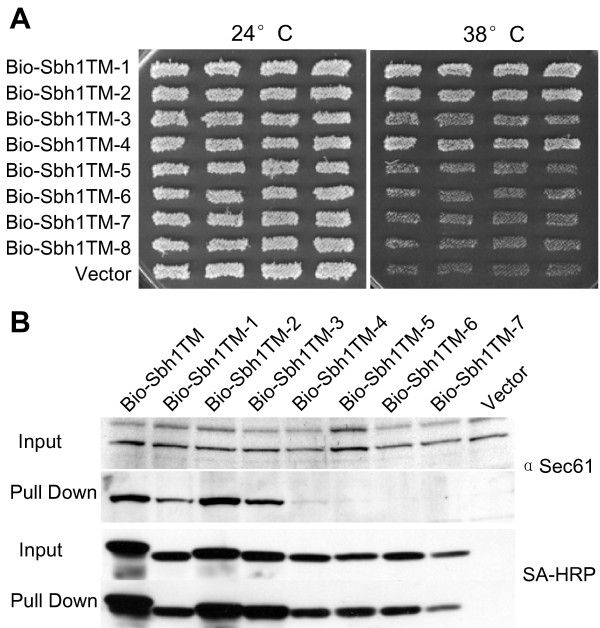 Functional characterization of the Sbh1p tm-domain mutants . A, Multicopy suppression of temperature-sensitivity of sbh1Δ sbh2Δ cells (H3232) by different mutant forms of SBH1 tm-domain. The sbh1Δ sbh2Δ cells were transformed with BIO-tagged SBH1 tm-domain mutants expressed from the ADH1 promoter in p426ADH and the growth of four independent transformants was monitored at 38 and 24°C. B, Lysates prepared from sbh1Δ cells (H3429) expressing BIO-tagged Sbh1p TM, mutants TM-1 to TM-7 or the empty vector were subjected to pull-down with streptavidin-coated magnetic beads. Beads and input samples were analyzed by Western blotting with anti-Sec61 antibodies or with HRP conjugated streptavidin to detect different versions of BIO-Sbh1p.