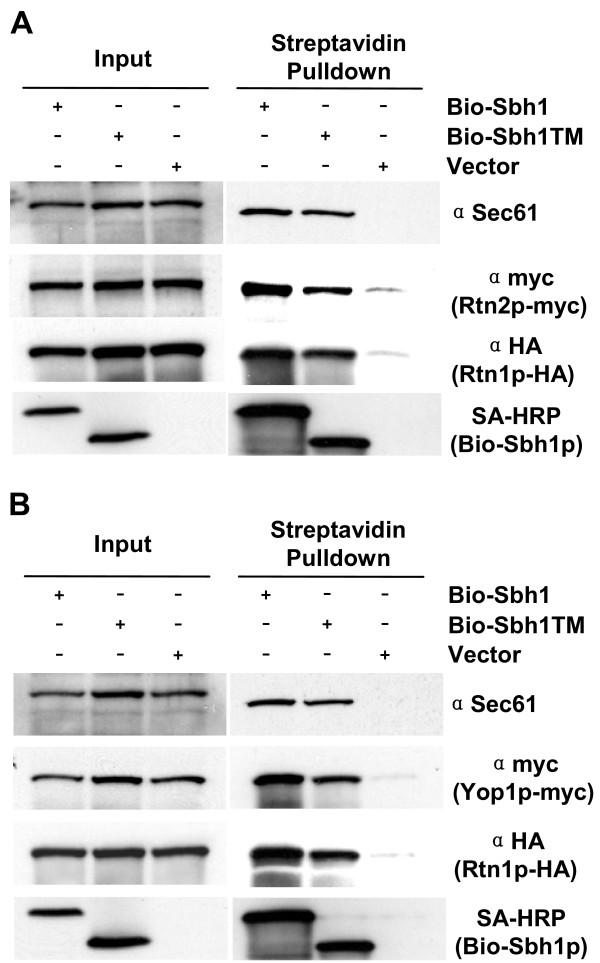 Sbh1p co-immunoprecipitates with S. cerevisiae reticulon-homologues Rtn1p, Rtn2p and Yop1p . A, The sbh1Δ RTN1-3XHA RTN2-9xmyc cells (H3723) or in B, sbh1Δ RTN1-3XHA YOP1-9xmyc cells (H3722) were transformed with YEpBIO-SBH1, YEpBIO-SBH1-TM, or an empty plasmid p426ADH. Lysates were prepared and subjected to pull-down with streptavidin-conjugated magnetic beads followed by SDS-PAGE and Western blotting. Proteins were detected with HRP-conjugated streptavidin and antibodies to Sec61p, myc and HA.