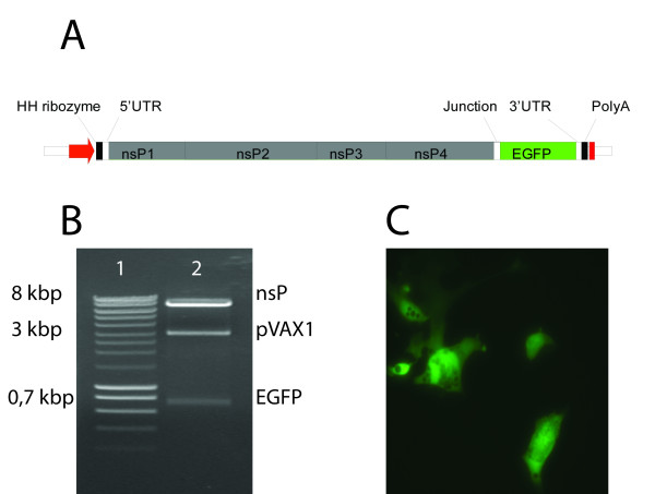 Construction and evaluation of a SAV3 based replicon . A) A SAV3 replicon is launched from the CMV promoter (red arrow) in the pVAX1 backbone, and transcription stops at the BGH polyA signal (red box). A synthetic DNA encoding a hammerhead ribozyme was fused to the SAV3 5'-UTR and a polyadenylated tail was fused to the 3'-UTR. The ORF encoding the SAV3 structural proteins was replaced by an ORF encoding EGFP inserted between introduced <t>AgeI</t> and AscI sites. Position of the <t>EcoRI</t> site used for restriction enzyme analysis is indicated. B) Restriction enzyme analysis by digestion of pmSAV3 with EcoRI, AgeI and AscI. Lane 1: Smartladder (Eurogentec). Lane 2: pmSAV3 after triple digest with EcoRI, AgeI and AscI. Bands corresponding to the pVAX1 backbone, nsP coding sequence and EGFP coding sequence are indicated. C) Expression of EGFP in BF2 cells after transfection with pmSAV3. Both CHSE and BF2 cells facilitated successful expression of the EGFP reporter. EGFP expression became visible from day 2 p.t. in CHSE cells and 3 d.p.t. in BF2 cells.