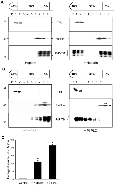 The association of PrP-TM with DRMs is disrupted by treatment of cells with either heparin or bacterial PI-PLC. SH-SY5Y cells expressing PrP-TM were surface biotinylated and then ( A ) incubated in the absence or presence of 50 µM heparin prepared in OptiMEM for 1 h at 37°C or ( B ) incubated in the absence or presence of 1 U/ml bacterial PI-PLC for 1 h at 4°C. Cells were homogenised in the presence of 1% (v/v) Triton X-100 and subjected to buoyant sucrose density gradient centrifugation. PrP-TM was immunoprecipitated from equal volumes of each gradient fraction using 3F4 and subjected to western blotting. The biotin-labelled PrP-TM fraction was detected with peroxidase-conjugated streptavidin. Flotillin-1 and transferrin receptor (TfR) were detected by immunoblotting as markers for DRM and detergent-soluble fractions respectively. ( C ) Densitometric analysis of the proportion of total PrP-TM present in the detergent soluble fractions of the plasma membrane after heparin and PI-PLC treatment. Experiments were performed in triplicate and repeated on three occasions. * P