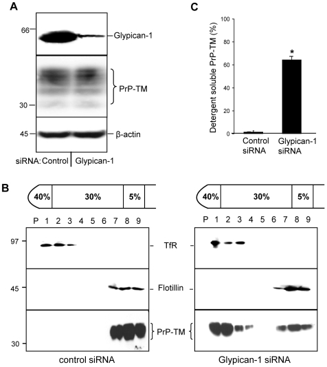 Depletion of glypican-1 inhibits the association of PrP-TM with DRMs. SH-SY5Y cells expressing PrP-TM were treated with either control siRNA or siRNA targeted to glypican-1 and then allowed to reach confluence for 48 h. Cells were subsequently surface biotinylated and incubated in OptiMEM for 1 h at 37°C in the presence of Tyrphostin A23 to block endocytosis. The media was removed and the cells washed in phosphate-buffered saline prior to homogenisation in the presence of 1% (v/v) Triton X-100 and subjected to buoyant sucrose density gradient centrifugation. ( A ) Quantification of glypican-1 and PrP-TM expression in cell lysates. To detect glypican-1, cell lysate samples were treated with heparinase I and heparinase III prior to electrophoresis as described in the materials and methods section. ( B ) PrP-TM was immunoprecipitated from equal volumes of each gradient fraction using 3F4 and then subjected to western blotting with peroxidase-conjugated streptavidin. Flotillin-1 and transferrin receptor (TfR) were detected by immunoblotting as markers for DRM and detergent-soluble fractions, respectively. ( C ) Densitometric analysis of the proportion of total PrP-TM present in the detergent soluble fractions of the plasma membrane after siRNA treatment from multiple blots from three independent experiments. * P