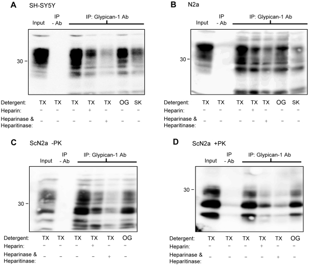 PrP C  and PrP Sc  immunoprecipitate with glypican-1. ( A ) SH-SY5Y cells expressing PrP C , ( B ) N2a cells or ( C and D ) ScN2a cells were lysed in the indicated detergents and then immunoprecipitated with a polyclonal glypican-1 antibody and where indicated, co-incubated with 50 µM heparin. Those samples pretreated with heparinase I and heparinase III were lysed with Triton X-100 followed by immunoprecipitation with glypican-1 antibody. In (D), immunopreciptiates from ScN2a cells were digested with PK. All immunoprecipitates were subsequently blotted for PrP. TX, Triton X-100; OG, octylglucoside; SK, sarkosyl.