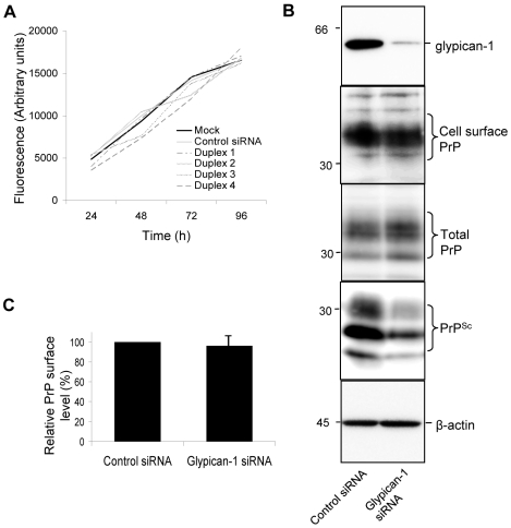 Depletion of glypican-1 does not affect cell division or surface levels of PrP C . ( A ) ScN2a cells were seeded into 96 well plates and treated with transfection reagent only or incubated with either control siRNA or one of the four siRNAs targeted to glypican-1. Those experiments exceeding 48 h were dosed with a second treatment of the indicated siRNAs. Cells were then rinsed with PBS and fixed with 70% (v/v) ethanol. Plates were allowed to dry, stained with Hoescht 33342 and the fluorescence measured. ( B ) ScN2a cells were treated with control or glypican-1 siRNA. After 96 h, cell monolayers were labelled with a membrane impermeable biotin reagent. Biotin-labelled cell surface PrP was detected by immunoprecipitation using 6D11 and subsequent immunoblotting using HRP-conjugated streptavidin. Total PrP and PK-resistant PrP (PrP Sc ) were detected by immunoblotting using antibody 6D11. ( C ) Densitometric analysis of the proportion of the relative amount of biotinylated cell surface PrP in the absence or presence of glypican-1 siRNA from three independent experiments.