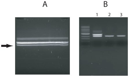 <t>DNA</t> purification from agarose gel. Digested plasmid was fractionated in an agarose gel (A) and a specific band (arrow) cut from the gel. The gel was divided in two and DNA from half was purified by four <t>Qiagen</t> gel extraction columns (2 in B) and the DNA from the other half was purified by a single glass syringe filter (3 in B). The original digestion mixture before purification is included (1 in B). The purified bands were analyzed on a 0.8% TAE agarose gel.