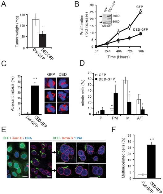 Caspase-8 DEDs decrease tumor burden, proliferation and induce multinucleation. A. Evaluation of tumor growth in chick embryos of NB7 neuroblastoma cells stably transfected with DED-GFP or control GFP. Data were analyzed with U-Mann-Whitney Test (*, significant differences, p≤0.05). B. The proliferation capacity of NB7-GFP or NB7 DED-GFP was monitored by direct counting of cells after 24, 48, 72 and 96 hours in culture after being seeded at 100, 000 cells/ml. C. Representative immunofluorescent images are shown, with alpha tubulin (red channel) and DNA/chromosomes (blue channel) evident in mitotic cells (scale bar = 10 µm). Microscopic quantification of aberrant mitosis. Data were analyzed with T-student Test (*, significant differences, p≤0.05; **, very significant differences, p≤0.01). D. Quantification of mitotic cells expressing GFP or DED-GFP. The distribution of mitotic cells is significantly different in these populations (P = Prophase, PM = Pro-metaphase, M = Metaphase and A/T = Anaphase/Telophase). Data were analyzed with T-student Test (*, significant differences, p≤0.05). E. Confocal microscopy indicating the presence of multinucleated cells within the DED-GFP cells, but not those expressing GFP (scale bar = 10 µm). F . Quantification of multinucleated NB7 GFP and NB7 DED-GFP cells.