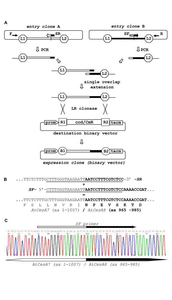 PCR-fusion/Gateway procedure: 'gene fusion' protocol . ( A ) Schematic of gene fusion protocol. PCR amplification from entry clones (primer pairs F × SR and SF × R) of fragments with short overlapping ends; joining of the PCR fragments by single overlap extension; direct LR clonase II mediated cloning of the assembled DNA fragment into a binary destination vector and generation of binary expression vector (expression clone). The recombination of att L1 and L2 sites with att R1 and R2 sites to give att B sites flanking the fused DNA fragments during the Gateway cloning are designated. Cassette enables efficient selection of entry and expression clones and contains ccdB and chloramphenicol resistance (CmR) genes (indicated with ccd/CmR). ( B ) Generation of AtCesA7 (aa: 1-1007)/ AtCesA8 (aa: 965-985) gene fusion. Two fragments were amplified from the starting entry clones with primers: clone pZ3 ( AtCesA7 ): F(M13for)- gtaaaacgacggccagt × SR- ggagacgaaaggattaattcttacccaaag and clone pZ1( AtCesA8 ): SF- ctttgggtaagaattaatcctttcgtctcc × R(M13rev)- caggaaacagctatgac . Note that primers F and R are universal M13-forward and M13-reverse primers matching the vector sequence outside the att L1/ att L2 region. The sequences of the overlapping ends of the two PCR fragments and gene fusion site are presented. The primer sequences are underline. The AtCesA8 sequences are in bold type. ( C ) Sequencing of the DNA fusion site in binary expression vector p3K3C1 which contained a AtCesA7 (aa: 1-1007)/ AtCesA8 (aa: 965-985) fusion cloned into p3KC binary destination vector. The fusion site and position of SF primer are designated on the DNA sequence.