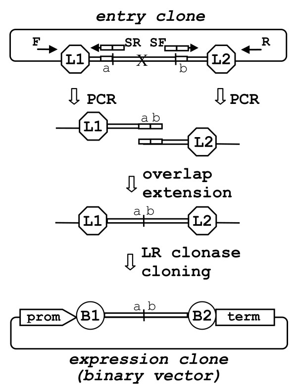 DNA 'domain deletion' protocol . Schematic representation of a 'domain deletion' using PCR amplification of the two terminal regions of the entry clone adjacent to the DNA domain to be deleted (designated by 'X'). F and R - represent M13 universal primers. SF and SR are complementary PCR primers consisting of two fused sections ( a and b ) that match regions flanking the deleted domain. The overlap extension results in assembly of the two terminal regions with overlapping ends. The new fragment with deleted DNA domain is directly LR clonase cloned into a binary destination vector producing binary expression vector, (for details see Fig. 1).