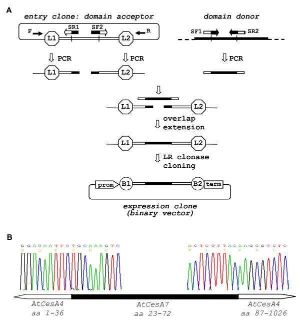 DNA 'domain swap' protocol . ( A ) Schematic of 'domain swap' protocol. PCR amplification from the domain acceptor entry clone (primer pairs F × SR1 and SF2 × R) of the two terminal regions flanking the DNA domain to be replaced. PCR amplification (primer pair SF1 × SR2) of the donor domain to be inserted. Overlap extension assembly of the three PCR fragments with short overlapping ends (for details see Fig. 1). Direct LR clonase cloning of the assembled fragment produces the binary expression clone. Note that SF1/SR1 and SF2/SR2 are complementary primer pairs consisting of the edges of both domain acceptor and donor. ( B ) Sequencing of the two DNA fusion sites of expression vector p3K235 that contained AtCesA7 (aa: 1-36)/ AtCesA4 (aa: 23-72)/ AtCesA7 (aa: 87-1026) domain swap variant in the p3KC binary destination vector. Cloning features: domain acceptor entry clone - pZ3 ( AtCesA7 ); domain donor - plasmid cDNA clone U50150- RIKEN; primer SF1- ctagatggacaattctgcaaagtctgtggc ; primer SF2- tgcaacactctttacaagcgtctcagagga ; The two fusion sites at the ends of the domain swapped region are designated on the chromatograms.
