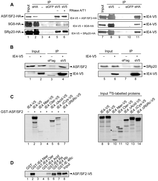 IE4 interacts with ASF/SF2, 9G8 and SRp20 through its arginine-rich Ra, Rb and Rc domains. (A) Nuclear extracts from co-transfected HeLa cells were immunoprecipitated with anti-GFP, anti-V5 or anti-HA antibodies as indicated. In Input (lanes 1 and 7), nuclear extracts were fractionated without immunoprecipitation. Nuclear extracts were treated (lane 6) or not (lane 5) with RNases A/T1 mix for 30 min at 37°C before immunoprecipitation. In lanes 3 and 9, immunoprecipitation was performed with beads without antibody as a negative control (−). The blots were probed with anti-HA (left panels) or anti-V5 (right panels) antibodies. (B) Total extracts from transfected HeLa cells were immunoprecipitated with anti-Flag or anti-V5 antibodies as indicated. In Input (lanes 1, 2, 5 and 6), total extracts were fractionated without immunoprecipitation. The blots were probed with anti-ASF/SF2 or anti-SRp20 (upper panels) and anti-V5 (lower panels) antibodies. The asterisk marks heavy chain IgG from the immunoprecipitation. (C) In vitro binding assay was performed by incubating GST-ASF/SF2 with in vitro -translated IE4-V5 or derivatives as indicated (lanes 2 to 7). Assay performed with GST alone constituted the negative control (−) (lane 1). In Input (lanes 8 to 14), [ 35 S]-methionine-labelled proteins were fractionated without binding assay. (D) In vitro -translated ASF/SF2-V5 was incubated with GST-IE4 derivatives as indicated (lanes 2 to 7). GST alone constituted the negative control (lane 1) and, in Input, ASF/SF2-V5 was loaded without binding assay (lane 8).