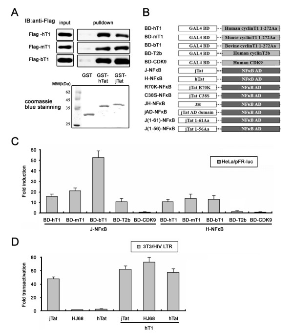 Interaction of jTat with CycT1 in vitro and in vivo . (A) Interaction of hTat and jTat with mammalian CycT1s. GST and GST-tagged proteins were immobilized on beads and incubated with the cell lysates as described in Methods. The pull-down complexes and 5% of cell lysate input were analyzed by western-blotting using anti-Flag antibody. The coomassie blue staining shows 10% of the amounts of the purified proteins utilized in this experiment. Numbers mark the molecular weight standards (MW). (B) Schematic representation of mammalian two-hybrid constructs. jAD; jTat residues 1-67. JH; jTat 1-67 fused to hTat 48-72. (C) HeLa cells were co-transfected with 500 ng J-NFκB or H-NFκB, 500 ng of the indicated Gal4 BD plasmid and 250 ng pFR- luc . Fold-induction shows the relative activity of pFR- luc reporter and reflects binding affinity between Tat and its cofactor. (D) HIV LTR activation in 3T3 cells by indicated Tats in the absence or presence of hCycT1. The amount of transfected pCMV-Tag2B-hCycT1 was 50 ng. T1; Cyclin T1 residues 1-272.