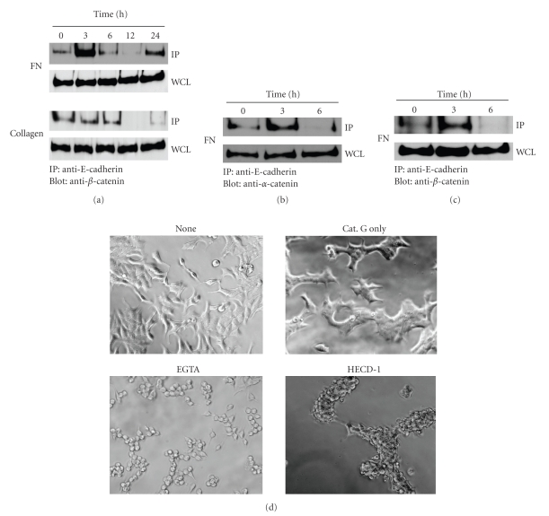 Cathepsin G-induced E-cadherin/catenin complex formation and E-cadherin-mediated cell-cell adhesion of MCF-7 cells. MCF-7 cells were cultured in dishes coated with fibronectin for 24 hours. After washing, adherent cells were incubated in serum-free medium without or with 0.5 mU/mL cathepsin G. At each indicated culture time, the cells were lysed, and E-cadherin/catenin complex formation of MCF-7 cells was analyzed by immunoprecipitation and western blot analysis as described in Materials and Methods. (a) and (b) Immunocomplexes with anti-E-cadherin were analyzed by immunoblotting using an anti- <t>β</t> -catenin (a) or anti- α -catenin antibody (b). Whole-cell lysates (WCLs) were immunoblotted with an anti- β -catenin (a) or anti- α -catenin antibody (b). (c) BALB-MC.E12 mouse mammary tumor cells were analyzed as shown in (a). (d) Treatments inhibiting E-cadherin-mediated cell-cell adhesion disrupt cathepsin G-induced cell condensation. MCF-7 cells were cultured in 5% FBS-containing medium on fibronectin for 24 hours. After washing, cell condensation was induced by cathepsin G for 24 hours. Condensed cells were then subjected to serum-free medium supplemented with 400 μ M <t>EGTA</t> for 6 hours or HECD-1 (100 μ g/mL) for 24 hours and then analyzed by phase-contrast microscopy. Cathepsin G-induced cell condensation was analyzed at the original magnification: ×200.