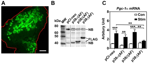 Overexpression of dominant negative p38γ, but not that of p38α and p38β, blocks contractility-induced Pgc-1α mRNA expression. Plasmid DNA (100 µg) containing an empty vector (pCI-neo) or FLAG-tagged dominant negative forms of p38α (p38α (AF)), p38β (p38β(AF)), or p38γ (p38γ(AF)) were injected into right and left tibialis anterior muscles followed by electric pulse-mediated gene transfer (described in Materials and Methods ). After 10 days of recovery, motor nerve stimulation (10 Hz, 2 hours) was performed for the left tibialis anterior muscle, and both the stimulated and the contralateral control tibialis anterior muscles were harvested for analyses for transgene expression, signaling molecule activation and Pgc-1α mRNA expression. A) Fluorescence image showing the efficacy (∼60%) of gene transfer in tibialis anterior muscle (outline in red). The scale bar equals 200 µ; B) Immunoblot analysis for the tibialis anterior muscles 10 days after gene transfer showing expression of FLAG-tagged p38α (AF), p38β(AF), and p38γ(AF) compared with the tibialis anterior muscle transfected with pCI-neo control plasmid. Lines divide images from different gels. Non-specific bands (NB) were labeled; and C) Real-time PCR analysis showing that motor nerve stimulation results in significant induction of Pgc-1α mRNA in tibialis anterior muscles transfected with pCI-neo, p38α (AF) or p38β(AF), which is blocked by overexpression of p38γ(AF). The data was normalized by 18S ribosomal RNA (n = 6–12). *, ** and *** denote p