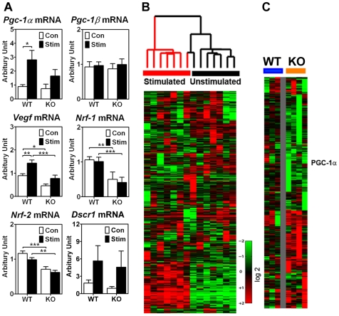 Muscle-specific deletion of the p38γ gene results in alterations in endurance exercise-induced gene expression. Wild type and p38γ KO mice were subjected to motor nerve stimulation (10 Hz, 2 hours) via the deep peroneal nerve, which innervates the tibialis anterior muscle. One hour following motor nerve stimulation, both the stimulated tibialis anterior and the contralateral control tibialis anterior muscles were harvested for total RNA isolation and analyzed by real-time PCR and Affymetrix microarray analyses. A) Real-time PCR analysis for Pgc-1α, Pgc-1β, Vegf, Nrf-1 , Nrf-2 and Dscr1 mRNA (n = 5–6). *, ** and *** denote p