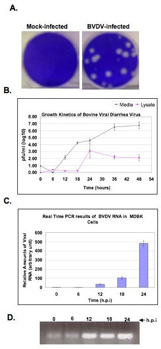 A. Representative plaque assays of cytopathic (cp) BVDV in MDBK cells . Cells were infected with 10-fold serial dilutions of BVDV stocks from virus supernatant. After adsorption, monolayers were overlaid with DMEM/5% horse serum and 0.5% agarose plugs. After 72 h incubation, the plugs were removed and the monolayers stained with 1% crystal violet. B. Growth Kinetics of cp BVDV in MDBK cells. Cells were infected with BVDV at MOI of 0.1. The supernatant (media, diamonds) and cell lysates (lysate, squares) were harvested at the indicated time points. Viral titers were determined via plaque assay. The results are given as log10 pfu/ml. C. BVDV RNA synthesis at various times post infection. MDBK cells were infected with BVDV as above and total cellular RNA was collected at 0 h (after 1 h adsorption), 6 h, 12 h, 18 h, and 24 h.p.i. To determine the amount of viral RNA in the cells, RT-PCR was performed with a probe specific to BVDV NS4B sequence. The amount of BVDV RNA was determined relative to GAPDH. D. BVDV NS4B cDNA products from RT-PCR, prior to quantitation, were run on 0.8% agarose gel and stained with ethidium bromide. Notice the increase in cDNA product from 6 to 24 h post BVDV infection.