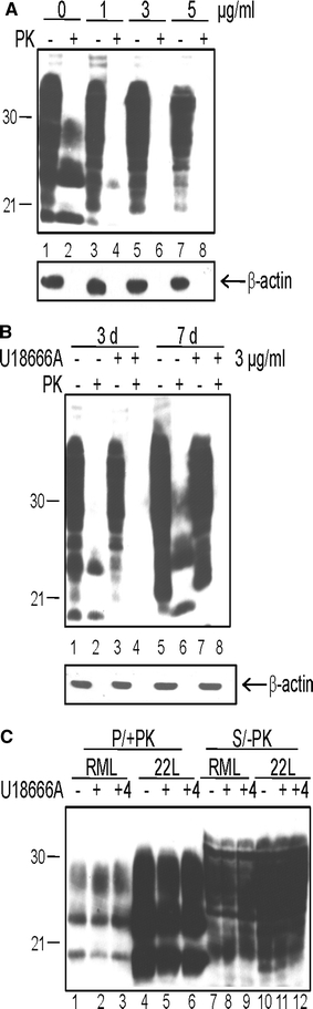 Dose- and time-dependent reduction of PrP Sc in persistently infected cells, but no inhibition of primary infection upon chemical induction of lysosomal cholesterol accumulation. a ScN2a cells were treated for 3 days with various concentrations (0, 1, 3, or 5 μg/ml) of U18666A as indicated. Cells were lysed, digested with PK ( +PK ) or not ( −PK ), and proteins were analyzed by immunoblot. Mab 4H11 was used for detection of PrP-specific bands. The immunoblot was dehybridized and incubated with an anti-β-actin mAb to control for equal loading ( lower panel ). b Treatment of ScN2a cells with U18666A (3 μg/ml) was performed for 3 and 7 days in parallel to mock treatment. At the different time points, U18666A-treated and mock-treated cells were lysed. Lysates were digested with PK ( +PK ) or not ( −PK ) and were subjected to immunoblot analysis using mAb 4H11. Equal loading of lysates of the different time points was confirmed by reprobing the membrane with anti-β-actin mAb ( lower panel ). c 3F4-N2a cells were left untreated or were pretreated for 4 h with U18666A (3 μg/ml) prior to prion infection. For prion infection, brain homogenates (1%) from RML- or 22L-infected terminally sick mice were added for 24 h to the culture medium. Cells that had not been pretreated were infected either in the presence (+) or absence (−) of U18666A for 24 h. For pretreated cells, the U18666A treatment was continued for the time period of infection (+4; 28 h treatment in total). After 24 h, brain homogenates and U18666A were removed, cells were washed and passaged three times 1:10. Passage 3 was lysed, lysates were treated with PK ( +PK ) or left untreated ( −PK ) and were then subjected to a solubility assay. Pellet fractions of samples + PK ( P/+PK ) and supernatant fractions of samples −PK ( S/−PK ) were analyzed by immunoblot with mAb 3F4, which selectively detects newly generated 3F4-PrP Sc in the pellet fractions (P/+PK) and 3F4-PrP c in the supernatant (S/−PK)