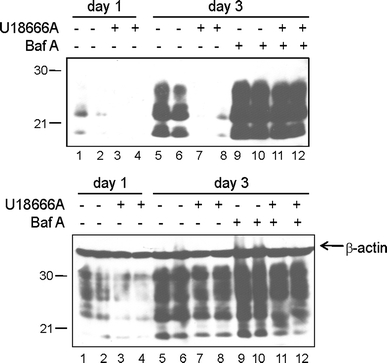 U18666A treatment increases PrP Sc degradation. Upper panel ScN2a cells were treated for 1 day with U18666A (3 μg/ml) or were left untreated. Cells were either lysed after 1 day and lysates were treated with PK (lanes 1–4) or were incubated for further 2 days (day 3; lanes 5–12) with or without U18666A in presence or absence of bafilomycin A (10 nM). Then cells were lysed and subjected to PK digestion. All samples were separated by SDS-PAGE followed by immunoblot. For detection of PrP, mAb 4H11 was used. The experiment was performed in duplicate. Lower panel Samples without PK digestion were analyzed by immunoblot for total PrP using mAb 4H11 and for β-actin levels ( arrow ) for control of equal loading