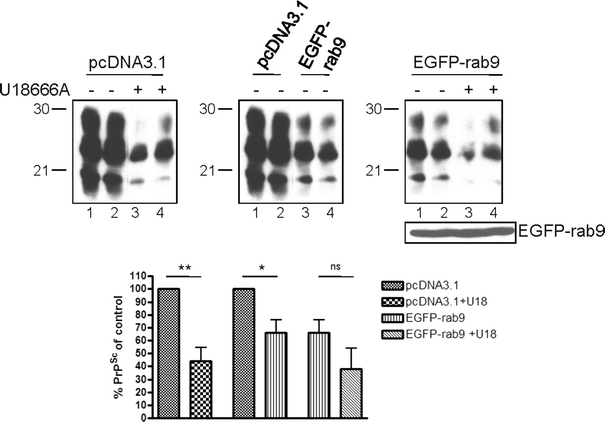 Rab 9 overexpression impairs PrP Sc propagation but partially rescues the interference induced by cholesterol accumulation. ScN2a cells were transiently transfected with pEGFP-rab 9 or with pcDNA3.1 as a control. Following transfection, treatment with U18666A (3 μg/ml) was performed for 2 days. Then cells were lysed, aliquots were digested with PK, and samples were analyzed by immunoblot using mAb 4H11. A representative duplicate experiment is shown ( upper panel ). To enable better comparison, samples analyzed by one immunoblot were opposed to each other. Expression of EGFP-rab 9 was detected using a polyclonal anti-GFP antibody. PrP Sc signals of five independent experiments were evaluated densitometrically (ImageQuant TL), and statistical analysis was performed ( lower panel , ns not significant; * P