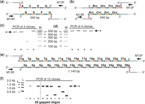 Twenty base-pair overlaps are sufficient for oligonucleotide assembly in yeast. ( a and b ) Schematic demonstrating the assembly of eight 60-mers, named A–H, or their reverse complements, named Arc–Hrc. The oligonucleotides each contain 20 bp overlaps and were assembled into a vector to produce a 340 bp synthetic DNA fragment. The terminal oligonucleotides overlap the vector (grey) by 20 bp (red x). Twenty nucleotide gaps (green) were repaired inside the yeast cell. ( c and d ) PCR analysis of four randomly selected yeast clones following transformation and assembly of oligonucleotides A–H (c) as depicted in (a) or oligonucleotides A–rc–H–rc (d) as depicted in (b). The predicted amplicon size for a complete assembly is 563 bp and is indicated by an asterisk. M indicates the 100 bp DNA ladder (NEB). ( e ) Assembly of 28 60-mers, named 1–28 g, containing 20 bp overlaps, to produce a 1140 bp synthetic DNA fragment. ( f ) PCR analysis of 12 randomly selected yeast clones following transformation and assembly of the oligonucleotides and vector shown in (e). The predicted amplicon size for a complete assembly is 1363 bp and is indicated by an asterisk.