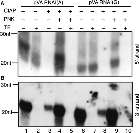 The phosphorylation status of mivaRNAIs derived from VA RNAI(A) and VA RNAI(G). The RISC associated RNAs from pVA RNAI(A) or pVA RNAI(G) transfected cells were treated with combinations of calf intestinal alkaline phosphatase (CIAP), T4 polynucleotide kinase (PNK) and Terminator 5′-exonuclease (TE). After enzyme treatment, the 5′- ( A ) or 3′-strands ( B ) of mivaRNAI were analyzed by northern blotting.