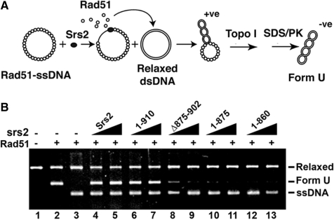 Rad51 presynaptic filament disruption as measured by a topoisomerase-linked assay. ( A ) Reaction scheme for detecting Rad51 presynaptic filament disruption. ( B ) Rad51 presynaptic filaments were incubated without or with Srs2, srs2 1–910, srs2 Δ875–902, srs2 1–875 or srs2 1–860 (60 and 80 nM) before the addition of relaxed DNA and topoisomerase I (lanes 3–13). Lane 2 contains Form U DNA made by incubating topologically relaxed DNA with Rad51 and topoisomerase I. Lane 1 contains topologically relaxed DNA.
