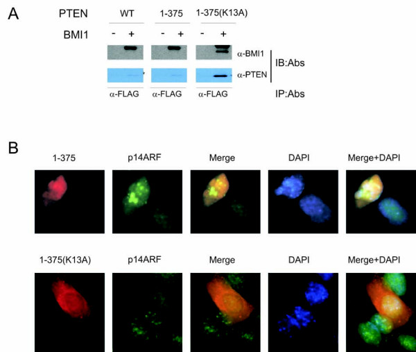 Nuclear PTEN reduces BMI1 function . ( A ) Interaction of nuclear PTEN with BMI1. Chimpanzee PTEN and the indicated mutants PTEN/1-375 and PTEN/1-375(K13A) were transfected without and with FLAG-tagged BMI1 in 293T cells, followed by immunoprecipitation of BMI1 using an anti-FLAG (α-FLAG) and then immunobloted (IB) with the indicated antibodies. Control IgG did not precipitate either BMI1 or PTEN (data not shown). ( B ) Nuclear PTEN inhibits BMI1 function. DU145 cells were transiently expressed with PTEN/1-375 (top panel) or PTEN/1-375(K13A) (bottom panel). Cells were then double IF stained for ectopic PTEN mutants using an anti-HA antibody (red) or endogenous p14 ARF (green). Nuclei were counter-stained with DAPI (blue). More than 200 transfected cells were randomly counted. Typical images of 1-375 and 1-375(K13A) were shown and the related quantification was discussed (see Discussion for details).