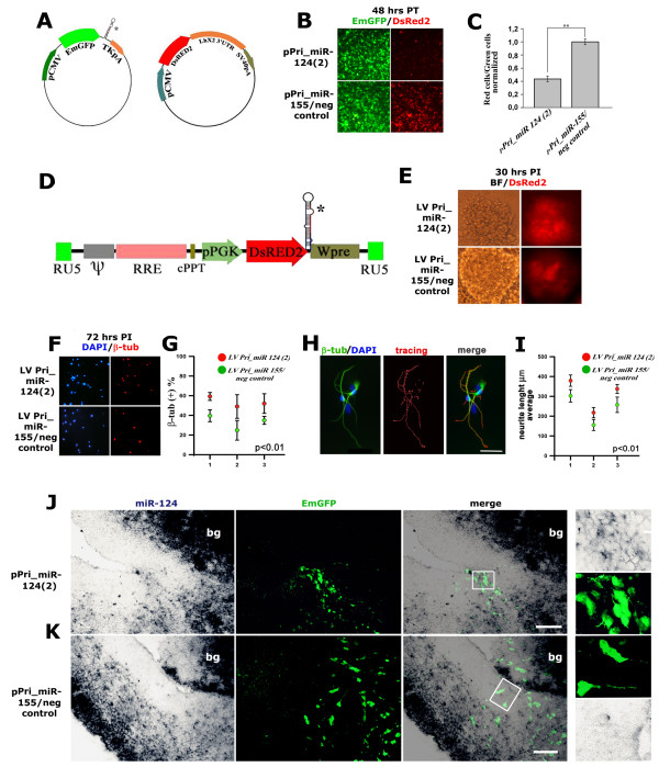 Overexpression of miR-124 in vitro and in vivo . (A) Backbone of the expression plasmids pPri-miR-124(2) and pPri-miR-155/neg_control; miR-124-responsive sensor plasmid pCMV-DsRed2/ Lhx2 _3'UTR. The asterisk indicates the position of Pri-miR cDNA fragments. (B, C) Specific attenuation of DsRed2 expression in HeLa cells cotransfected with pPri-miR-124(2) and pCMV-DsRed2/ Lhx2 _3'UTR. PT, post-transfection. (D) Backbone of lentivectors LV_Pri-miR-124(2) and LV_Pri-miR-155/neg_control. The asterisk indicates the position of Pri-miR cDNA fragments. (E) DsRed2 expression in E12.5 primary cortico-cerebral progenitors infected by lentiviruses LV_Pri-miR-124(2) and LV_Pri-miR-155/neg_control at a multiplicity of infection of 40 and kept for 30 h in DMEM:F12:N2 medium supplemented with 2.5% fetal calf serum. PI, post-infection. BF, bright field. (F, G) Differential β-tubulin immunoprofiling of acutely infected, E12.5 dissociated cortical progenitor cells, at 72 h after infection. (H) Example of neurite outgrowth evaluation by immunostaining and subsequent NeuriteTracer ® analysis. (I) Differential neurite outgrowth in low density cortical progenitor cells 72 h after infection at E12.5, calculated for three different experiments by NeuriteTracer ® . (J, K) In vivo overexpression of miR-124 in lateral neocortex. Distribution of miR-124 and pCMV-driven EmGFP on E14.5 midfrontal telencephalic sections from brains electroporated at E12.5 with the plasmids pPri-miR-124(2) and pPri-miR-155/neg_control, respectively. Magnifications of boxed insets of electronic merges are shown to the right. Abbreviations: bg, basal ganglia. In (C) error bars represent the standard error of the mean calculated among the means of each experiment; ** P