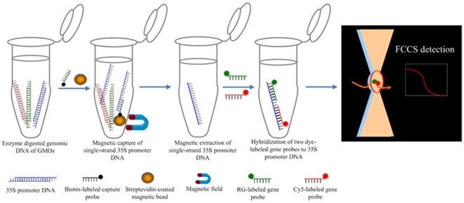 Proposed methodology for PCR-free identification of GMOs by magnetic capture-FCCS. Genomic DNA is isolated from GMOs and then fragmented. Biotin-labeled DNA is hybridized with the 35S promoter region and streptavidin coated-magnetic beads are used to capture the targets from the sample and then washed. The single strand targets are released and hybridized with two fluorophore labeled probes for FCCS detection.
