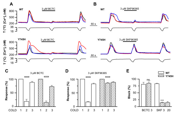 Differential effect of the Y745H mutation on the antagonism of TRPM8 by BCTC and SKF96365 . A - B , Cold-evoked [Ca 2+ ] i responses in HEK293 cells expressing TRPM8-wt or TRPM8-Y745H channels, showing the inhibition by A , 3 μM BCTC, and B , 3 μM SKF96365. C - D , Summary histograms of the [Ca 2+ ] i responses of TRPM8-wt and TRPM8-Y745H channels to repeated cooling stimuli in the absence and presence of C , 3 μM BCTC (n = 9/11 wt/mut); and D , 3 μM SKF96365 (SKF; n = 33/47). Note the reversible nature of the inhibition. E , Comparison of block of TRPM8-wt vs . TRPM8-Y745H by BCTC and SKF96365. In panels C-E, intracellular calcium increases were normalized to the first cold application in control solution. In panel E, the block of each antagonist condition was compared between TRPM8-wt and -Y745H using Student's unpaired t -test: *** p