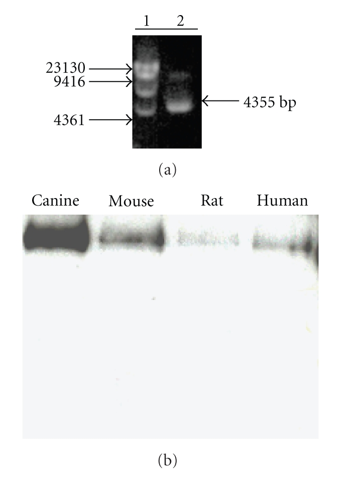 (a) Restriction digestion analysis of the canine <t>HRI-bacmid</t> DNA verifies the insertion of canine HRI <t>cDNA</t> into the bacmid DNA with correct orientation. Lane 1, Molecular Weight markers; Lane 2, pFastBac-canine HRI cDNA. (b) Expression of mammalian HRIs. HRI, expressed in insect cells, was detected by Western blot analysis using an affinity purified mouse monoclonal antibody against histidine and visualized by enhanced chemiluminescence. Lane 1, canine HRI; Lane 2, mouse HRI; Lane 3, rat HRI; Lane 4, human HRI.