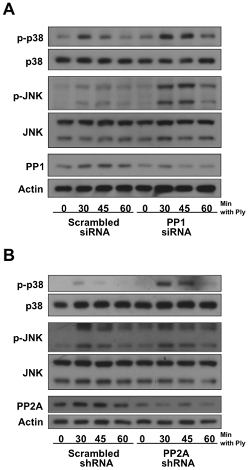 PP1 and PP2A mediate inactivation of the epithelial MAPK response to pore-formation. (A)A549 cells were transfected with 2 µg PP1 or scrambled siRNA per 1×10 6 cells and stimulated 54 hrs post-transfection with 100 ng/ml of purified Ply. Transfection with PP1 siRNA leads to reduced PP1 expression and a corresponding increase in Ply-induced p38 and JNK phosphorylation. (B) A549 cells were transfected with 6 µg PP2Aα/β or control shRNA per 1×10 6 cells and stimulated 60 hrs post-transfection with 100 ng/ml of purified Ply. Transfection with PP2Aα/β shRNA leads to reduced PP2A expression and a moderate increase in p38 phosphorylation.