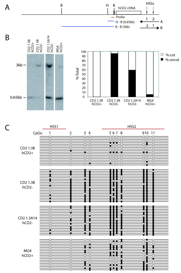 The DNA methylation status of the hCD2 transgene in hCD2+ and hCD2- T cells from the CD2 1.3 transgenic lines . (A) Schematic transgene map showing the restriction sites for Bgl II ( B ) and Hha I ( H ) and location of the probe used in B. (B) The CpG methylation analysis of the proximal promoter region by methylation-sensitive restriction enzyme digest and Southern blot. The bar charts show the ratios between the unmethylated and methylated Hha I sites. (C) Bisulfite sequencing analysis of the 3' regulatory regions of the hCD2 transgene. Methylated and unmethylated CpGs are shown as filled and open circles, respectively. Each line represents the sequence from a single clone. Similar results were obtained from two independent experiments. Comparisons between numbers of methylated CpGs were done using the Mann-Whitney U-test and Fisher's exact test (see text).