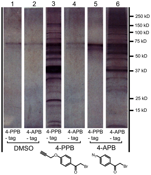 4-BPB tags a large number of proteins by click chemistry. Parasites were treated with either DMSO, 4-PPB or 4-APB and then lysed. The supernatants were then treated with the alkyne- or azide-conjugated biotin-tags, and click chemistry was used to label the targets of the 4-BPB click derivatives. These targets were then purified using streptavidin-conjugated beads and resolved by SDS-PAGE and silver staining. The resulting bands in the silver-stained gel were cut out for identification by LC-MS/MS. Parasites were either treated with DMSO, 0.5 µM 4-PPB or 1 µM 4-APB for 10 minutes, followed by lysis in 1% NP-40 buffer. Each of the lysates was treated with either the 4-APB-tag or the 4-PPB-tag during the click reaction. Lanes are labeled with the inhibitor (DMSO (lanes 1,2), 4-PPB (lanes 3,4), 4-APB (lanes 5,6)) and the click tag (4PPB-tag (lanes 1,3,5) or 4-APB-tag (lanes 2,4,6)) that the corresponding sample was treated with.