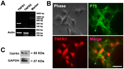 TNFR1 is expressed on OECs. (A) The mRNA of TNFR1 (301 bp) but not TNFR2 (264 bp) was identified in OECs by RT-PCR. (B) Cultured OECs were double-stained with antibodies against P75 and TNFR1 after treatment with Triton X-100. Scale bar = 50 µm. (C) Western blotting analysis for the expression of TNFR1 cell lysates of cultured OECs. GAPDH blotting severed as the loading control.