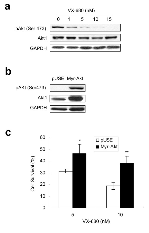 Activated <t>Akt</t> attenuates Aur-A inhibitory VX-680-induced apoptosis in TSCC cells . (a) Cells were incubated in serum-free media with indicated doses of VX-680 for 24 h, and subjected to Western blot analysis with pAkt (ser473), and Akt1 antibodies. (b) Myr-Akt1 or pUSE stable transfected cells were subjected to Western blot with pAkt and Akt1 antibodies, <t>GAPDH</t> was used as a control. (c) Myr-Akt1 or pUSE transfected cells were treated with VX-680 (5 nM or 10 nM) for 24 h. Cell survival rates were measured by MTT assay.