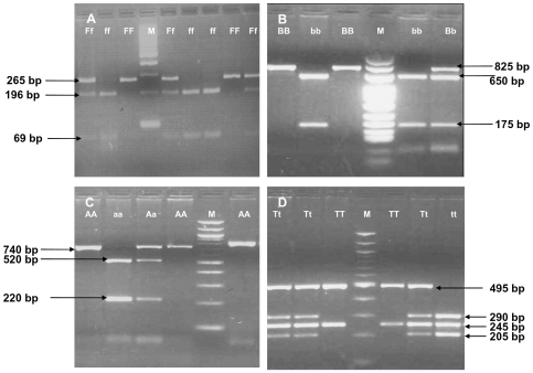 The genotypes for the four SNPs were determined by PCR amplification and restriction digestion of the PCR products with enzymes FokI, BsmI, ApaI , and TaqI . A: Fok1 digestion: SNP C/T in exon 2 was studied by amplifying a 265 bp fragment using primers 5′AGCTGGCCCTGGCACTGACTCTTGCTCT 3′ and 5′ATGGAAACACCTTGCTTCTTCTCCCTC 3′ with 68°C as annealing temperature and digestion by fok1 at 37°C for 3 hours. Presence of restriction site is denoted by 'f' while absence of restriction is denoted by 'F'. Results show FF (CC) i.e., a 265 bp band or Ff (CT) i.e., 265 bp, 196 bp and 69 bp, bands, ff (TT) i.e., 196 bp and 69 bp bands. M is the100 bp ladder. B: Bsm 1 digestion: SNP A/G in Intron 8 was studied by amplifying an 825 bp fragment using primers 5′CAACCAAGACTACAAGTACCGCGTCAGTGA 3′ and 5′AACCAGCGGGAAGAGGTCAAGGG 3′ with 65°C as annealing temperature and digestion by Bsm1 at 65°C for one hour. Presence of restriction site is denoted as 'b' and absence of restriction is denoted by 'B'. The results show BB (AA) i.e., 825 bp band, Bb (AG) i.e., 825 bp, 650 bp and 175 bp and bands and bb (GG) 650 bp and 175 bp bands. M is 25 bp ladder. C: Apa 1 digestion: SNP T/G in Intron 8 was studied by amplifying an 740 bp fragment using primers 5′ CAGAGCATGGACAGGGAGCAAG 3′ and 5′ GCAACTCCTCATGGCTGAGGTCTCA 3′ with 65°C as annealing temperature and digestion by Apa1 at 37°C for one hour. Presence of restriction site is denoted as 'a; and absence of restriction is denoted by 'A'. The results show AA (TT) i.e., 740 bp band, Aa (TG) i.e., 740 bp, 520 bp and 220 bp bands and aa (GG) 520 bp and 220 bp bands. M is 100 bp ladder. D: Taq 1 digestion: SNP T/C in exon 9 was studied by amplifying an 740 bp fragment using primers 5′CAGAGCATGGACAGGGAGCAAG 3′ and 5′GCAACTCCTCATGGCTGAGGTCTCA 3′ with 65°C as annealing temperature and digestion by Taq1 at 65°C for one hour. Presence of restriction site is denoted as 't' and absence of restriction is denoted by 'T'. The results show TT (TT) i.e., 495 bp and 245 bp bands Tt (TC) i.e., 495 bp, 290 bp, 245 bp and 205 bp bands and tt (CC) 290 bp, 245 bp and 205 bp bands. M is 100 bp ladder.