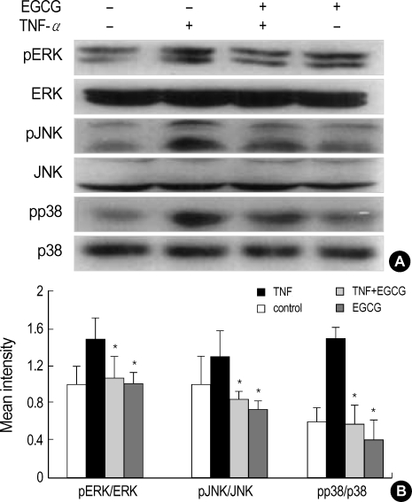 Effect of EGCG on ERK1/2, JNK1/2, and p38 phosphorylation in TNF-α-stimulated HT29 cells. ( A ) The HT29 cells pretreated with EGCG (25 µM) were cultured for 15 min with TNF-α (50 ng/mL), and were analyzed by Western blot using phospho-p38, phospho-JNK1/2 and phospho-ERK1/2 antibodies. ( B ) The intensity was measured by densitometry. The values are the mean±S.E. from three separate experiments ( * p