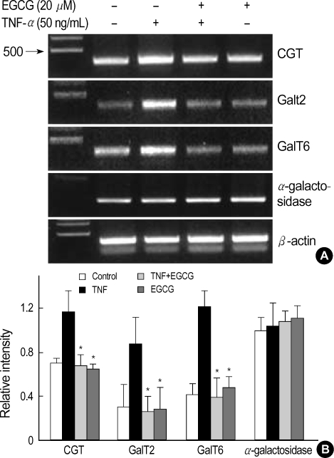 Effect of EGCG on CGT, GalT2, and GalT6 mRNA expression in TNF-α-stimulated HT29 cells. ( A ) The HT29 cells pretreated with EGCG (25 µM) were cultured for 24 hr with TNF-α (50 ng/mL), and were analyzed by RT-PCR for CGT, GalT2, GalT6, and α-galactosidase mRNA. ( B ) A PCR using housekeeping gene β-actin mRNA was carried out in parallel to confirm the equivalency of cDNA preparation. Relative intensity represents mRNA levels of CGT, GalT2, GalT6, and α-galactosidase/β-actin. The values are the mean±S.E. from three separate experiments ( * p