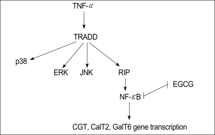 TNF-α enhanced Gb3 content through MAPK phosphorylation and NF-κB activation, and that then the transcription factor of NF-κB induced the activity of all of the three enzymes involved in Gb3 glycosphingolipid precursor synthesis. EGCG suppresses Gb3 expression in a TNF-α stimulated HT-29 cells via inhibition of NF-κB. TRADD, TNF receptor-associated death domain; RIP, Receptor-interacting protein