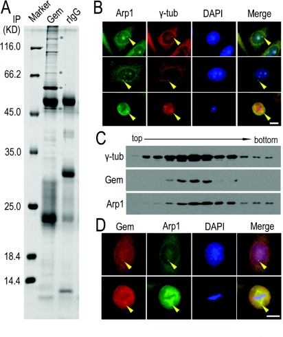 Arp1 as a potential centrosomal protein co-localized with geminin ( A ) Lysate from HeLa cells expressing exogenous GFP–geminin was immunoprecipitated (IP) using an antibody against geminin or rabbit IgG (rIgG) as a control. The proteins co-immunoprecipitated with geminin were separated on SDS/PAGE (10% gel) and stained with Coomassie Blue R-250. The protein bands were subjected to MS analysis. The bands indicated with a circle are (from the bottom to the top): dynactin 1 (p150Glued), Cdt1, GFP–geminin and Arp1 respectively. The molecular mass in kDa is indicated on the left-hand side of the gel. ( B ) Arp1 co-stained with γ-tubulin (γ-tub) in HeLa cells. HeLa cells were fixed and subjected to immunofluorescence staining using antibodies against Arp1 and γ-tubulin. The results showed that a fraction of Arp1 is located on centrosomes and Arp1 was well co-localized with γ-tubulin (indicated with arrowheads). Scale bar=10 μm. ( C ) Components of purified centrosomes from HeLa cells were examined for the co-existence of geminin (Gem) and Arp1. Fractions of centrosomes isolated from a discontinuous sucrose gradient were separated using SDS/PAGE (10% gel) and immunoblotted using antibodies against geminin and Arp1. γ-Tubulin (γ-tub) was immunoblotted as a positive control for centrosome purification. ( D ) Co-localization of endogenous geminin (Gem) and Arp1 was viewed by immunofluorescence staining using antibodies against geminin and Arp1 in HeLa cells fixed with ice-cold methanol. Both geminin and Arp1 were apparently co-localized in the centrosome in interphase and spindle poles in mitosis (indicated with arrowheads). Scale bar=10 μm.