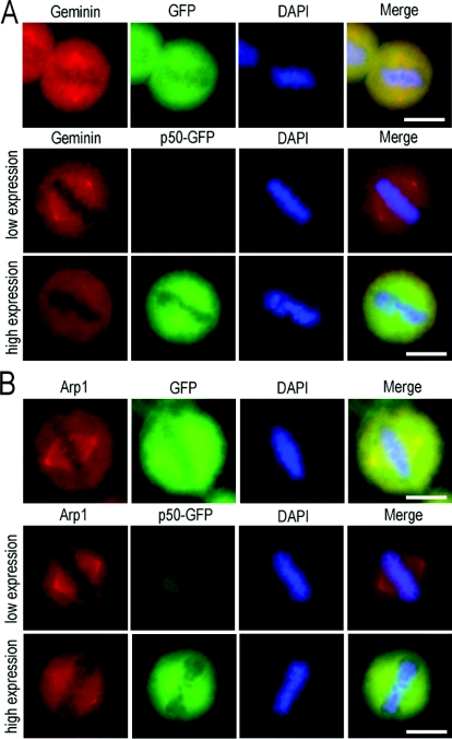 Disruption of the dynein–dynactin complex by overexpressed exogenous dynamitin/p50 impairs both geminin and Arp1 centrosomal localization GFP–dynamitin/p50 was introduced into HeLa cells using Lipofectamine™ 2000. At 24 h after transfection, the cells were fixed with ice-cold methanol and examined by immunofluorescence staining using antibodies against geminin and Arp1. Transfection of GFP was taken as a negative control. In GFP-expressing control HeLa cells, the centrosomal/spindle pole localization of both geminin and Arp1 was not affected, as indicated in the upper panels of ( A ) and ( B ). Similar results were obtained in low-level dynamitin/p50-expressing cells, in which both geminin and Arp1 were normally localized on centrosome/spindle poles [middle panels in ( A ) and ( B )]. High expression of dynamitin/p50 in HeLa cells did impair centrosomal localization of both geminin and Arp1, as indicated in the bottom panels of ( A ) and ( B ). Scale bar=10 μm.