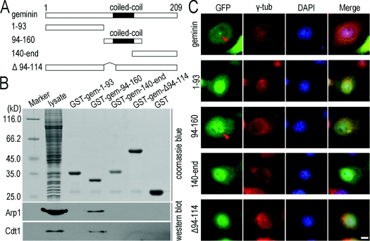 The coiled-coil motif is required for geminin centrosomal localization and interaction with Arp1 ( A ) Schematic diagrams of geminin and its truncated mutants. ( B ) The coiled-coil motif is required for geminin to interact with Arp1. For in vitro pulldown assays, four mutants of GST–geminin were purified and coupled on to glutathione–Sepharose 4B beads and incubated with the lysate of HeLa cells for 2 h. The proteins on the beads were separated on SDS/PAGE (10% gel) and subjected to Western blot analysis using antibodies against Arp1. Cdt1 was immunoprobed as a positive control. Coomassie Blue staining of the proteins represents the protein loading in the pulldown assay (upper panel). The molecular mass in kDa is indicated on the left-hand side of the gel. ( C ) The coiled-coil motif is required for centrosomal localization of geminin. HeLa cells were transfected with geminin or its mutants in the form of GFP-fusion proteins, and subjected to an ATP-inhibitor assay as described in the Materials and methods section. Only mutant 94–160 which contains the coiled-coil motif of geminin presents centrosomal enrichment in a similar manner to wild-type geminin. γ-Tubulin (γ-tub; red) was immunostained as a marker of centrosomes. Scale bar=10 μm.