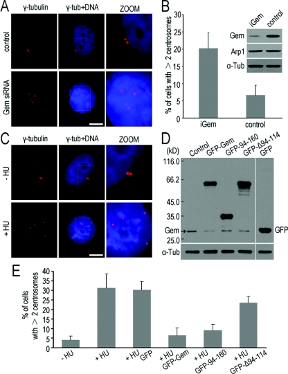Geminin regulates centrosome duplication in MDA-MB-231 cells ( A ) siRNA of geminin resulted in centrosome over-duplication in MDA-MB-231 cells. Cells were transfected with siRNA targeting geminin (Gem siRNA) or non-specific siRNA as a control. Immunofluorescence staining of γ-tubulin (red) showed that the centrosomes were over-duplicated in geminin siRNA cells. Scale bar=10 μm. The cells with supernumerary centrosomes were counted and are shown in ( B ). The efficiency of geminin-knockdown was detected by Western blot analysis and is shown on the top right panel in ( B ). ( C ) Centrosomes were over-duplicated after being treated with HU in MDA-MB-231 cells. MDA-MB-231 cells were treated with/without 4 mM HU for 48 h and then immunofluorescence staining of γ-tubulin was performed to observe centrosomes. Scale bar=10 μm. ( D and E ) The coiled-coil motif is required for geminin to inhibit centrosome over-duplication in HU-arrested MDA-MB-231 cells. MDA-MB-231 cells were treated with 4 mM HU for 12 h and then transfected with geminin and its mutants as a GFP-fusion protein and cultured for another 48 h in the presence of HU to maintain the cells in S-phase. Cells were then either processed for immunofluorescence staining of γ-tubulin to observe centrosomes or Western blotted using anti-geminin or anti-GFP antibodies to exam the level of GFP-fusion proteins of geminin and its mutants. Note that over-duplication of centrosomes induced by HU was inhibited by overexpression of mutant 94–160, which contains the coiled-coil motif, as well as wild-type geminin. These results indicated that the coiled-coil motif is required for geminin to inhibit centrosome over-duplication. Supernumerary centrosomes were counted ( E ) and error bars represent 1 S.D.