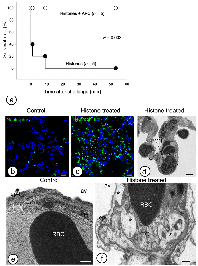 Intravenous injection of histones elicits inflammatory and cell injury responses. (a) Survival rates of mice injected intravenously with calf thymus histones (75 mg per kg) with or without APC (5 mg per kg). (b–d) Pathological changes of mouse lung three hours after intravenous injection of histones (50 mg per kg). Immunofluorescence staining for neutrophil elastase detected massive neutrophil accumulation in the alveolar microvasculature (c: histone treated vs. b: control). Alveolar capillaries are almost fully obstructed by cells, as seen by electron microscopy (d: PMN). (e–f) Histones induce strong alterations of the selective permeability of plasma membranes and subsequent intracellular edema, vacuolization (*) of the intracellular organelles (endoplasmic reticulum, Golgi, and mitochondria), both within endothelial (EC) and type I epithelial cells (ep–I). av, alveolae; cav, caveolae; RBC, red blood cells. Magnification bars: b and c: 50 µm; d, 10 µm; e and f, 500 nm.