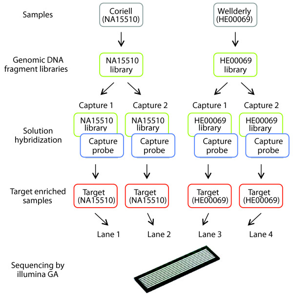 Experimental design. Genomic DNA fragment libraries were generated from two samples, Coriell (NA15510) and Wellderly (HE00069). Technical replicates of the target-enrichment steps for both samples NA15510 and HE00069 were performed (Capture 1 and Capture 2). The four target-enriched samples were loaded in separate lanes of a flow cell and sequenced by using the Illumina GAII.